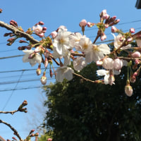桜咲きましたよ🌸