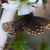 最近見かけた蝶