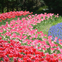 ミツバツツジの咲くころ ~チュ―リップと競演