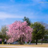 遅ればせながら...金沢の桜便り
