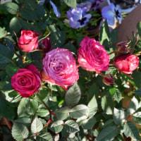 初めてのバラ、ファンティアルです。4月19日午後4時の強い光で・・