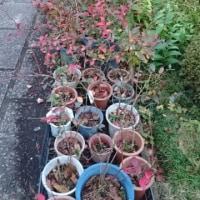 鉢植えブルーベリーの落葉