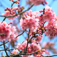 桜咲く・・・寒中お見舞い申し上げます。