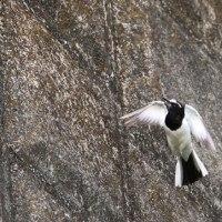 渓流や河川で尾羽を、振り振り・・・