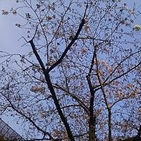 桜は足踏み