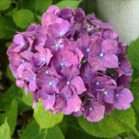 紫陽花の季節に。