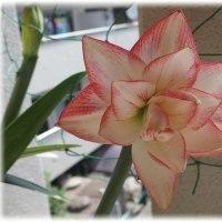 八重の赤白のアマリリス