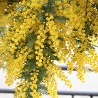 ミモザの花が咲くと