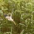 7/23探鳥記録写真-2(鞍手町の鳥たち:ヨシゴイほか)