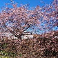 町内で見た桜です