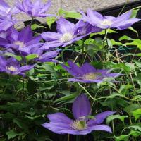 ジャスミンとクレマチスが咲きました。