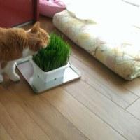 久しぶりに猫草