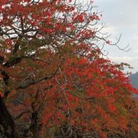 柳坂曽根のハゼ並木