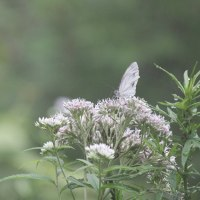 花木点景:夏の白、蝶も花も
