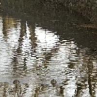 玉川上水のカモ