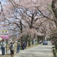眞原桜並木|北杜市武川町