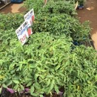 アスク グッディイガラシの野菜苗売り場 最盛期になりました。