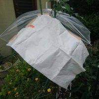 アイコちゃん待望の初収穫そして傘