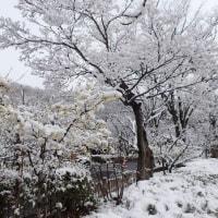 雪の梅林公園  2