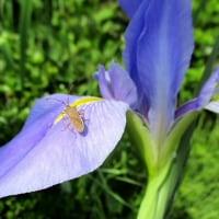 アイリスの花にカメムシ