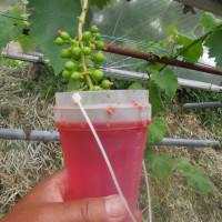 サツマイモを発根させてから畑に植えました
