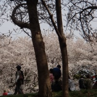 鳥屋野潟公園でお花見