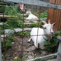 ニンニクの収穫作業。日本の「サザエ」実は新種。大川のヤギ達。