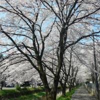 味真野 文室川堤防の桜(2017年4月14日撮影)