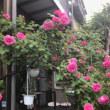 バラの花の更新