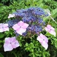 隅田の花火~様々な紫陽花たち~(*'▽'*)🌠