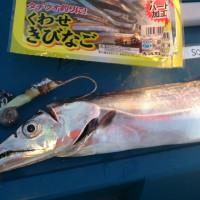 キタゴチ嫌ja太刀魚は産卵終わりかな