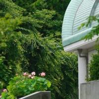 松山市考古館の古代ハスとチョウトンボ♪(6月22日)