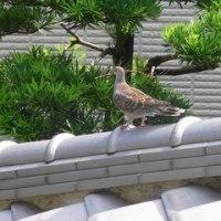 山鳩の巣作り