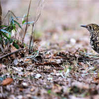 今日の野鳥   トラツグミ・カワセミ・シロハラ・ベニマシコ