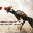 S128 Yang Melayani Pendaftaran Akun Sabung Ayam Online