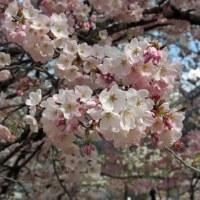 大西公園の桜