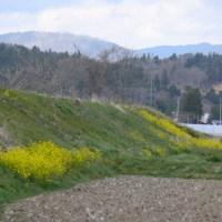 奥州市江刺区「伊手川」堤防の菜の花 2017年4月23日(日)