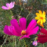 コスモスの花を