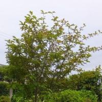 ランタナが次々咲きだした。 鉢植えのランタナを地植えに下したら無事に活着しました。