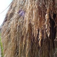 天日乾燥「はざかけ米」