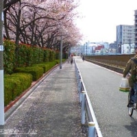 桜見ながら