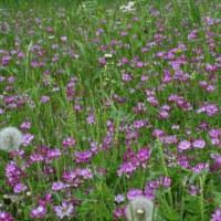 レンゲソウ、雑草の花
