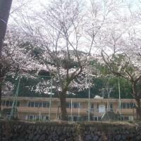 廃校の小学校校庭に今年も桜が満開に!