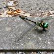 オニヤンマ(鬼蜻蜓)久しぶり?