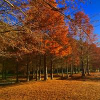 落羽松の林  その2