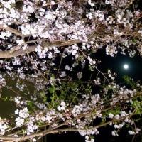 桜 探鳩 - 東中野 明大中野歩道の桜と宵月ET 今日は卯月の満月です!