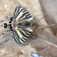 エゾヒメギフチョウ、交尾の瞬間の光景