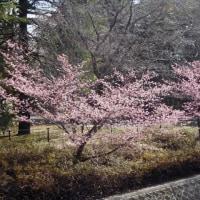 昭和記念公園花便り 大寒桜 2月25日