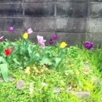 咲いたチューリップの画像(ゆるい日記・・・・)。