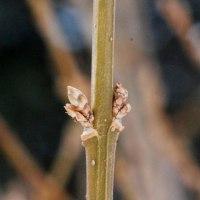 冬芽の観察114レンギョウ1